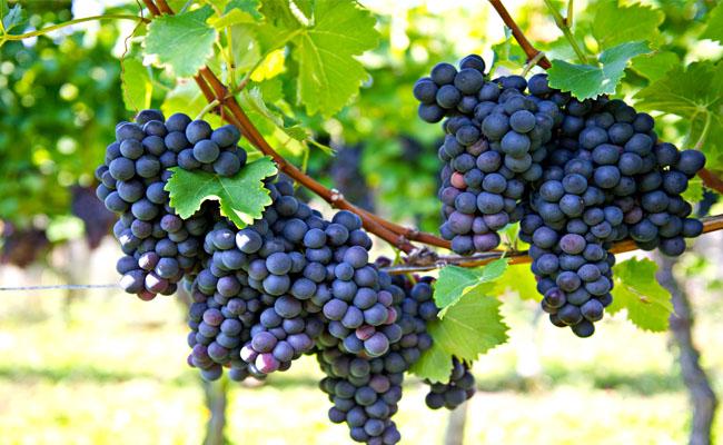 Grapes TD